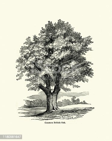 Vintage engraving of a Common British Oak tree, 19th Century. Quercus robur, commonly known as common oak, pedunculate oak, European oak or English oak, is a species of flowering plant in the beech and oak family, Fagaceae.