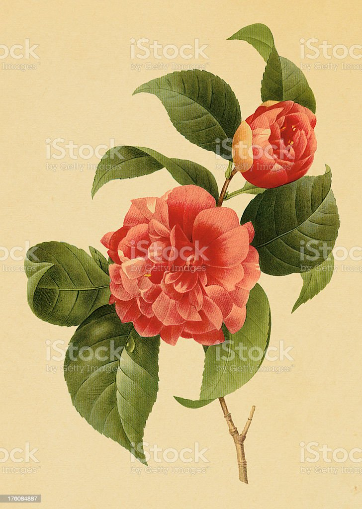 Common camelia | Antique Flower Illustrations royalty-free stock vector art