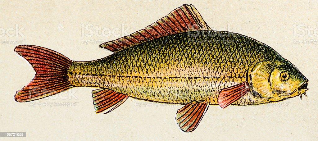 Common carp, fish animals antique illustration vector art illustration
