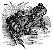Common frog | Antique Animal Illustrations