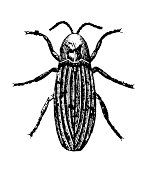 Common Glowworm or Firefly | Antique Scientific Illustrations
