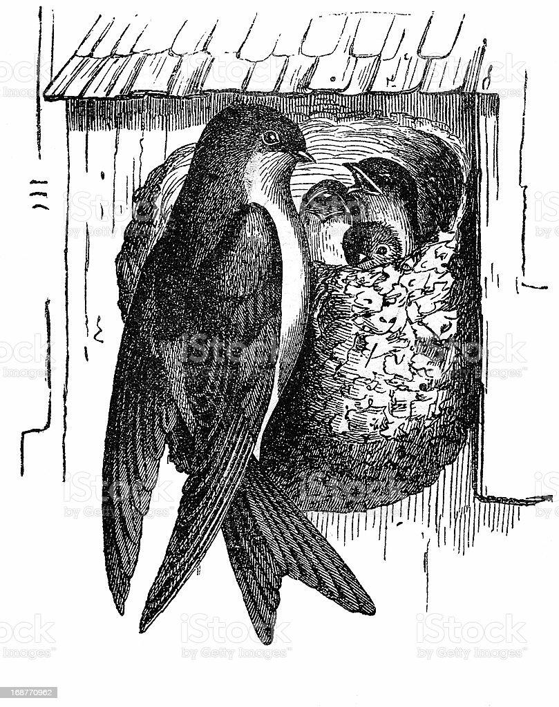 Common House Martin (Delichon Urbicum) royalty-free stock vector art