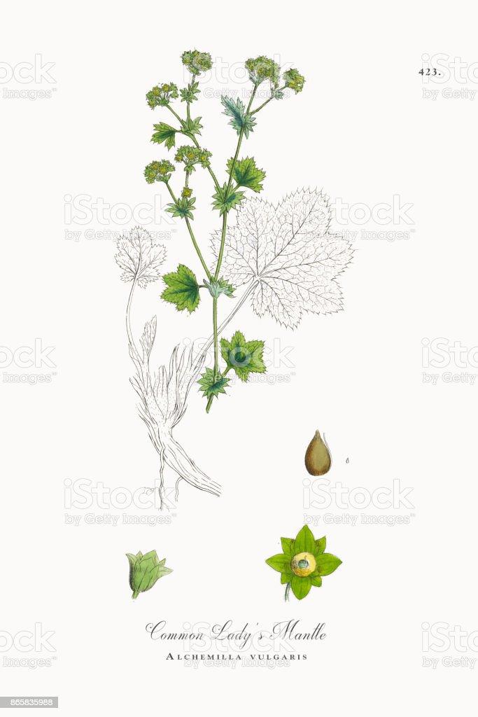 Common Lady's Mantle, Alchemilla vulgaris, Victorian Botanical Illustration, 1863 vector art illustration