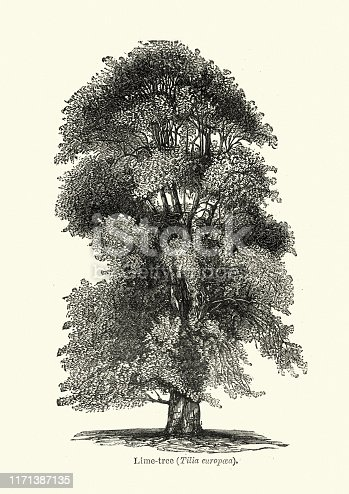 Vintage engraving of a Tilia is a genus of about 30 species of trees or bushes, native throughout most of the temperate Northern Hemisphere. In the British Isles, they are commonly called lime trees, or lime bushes