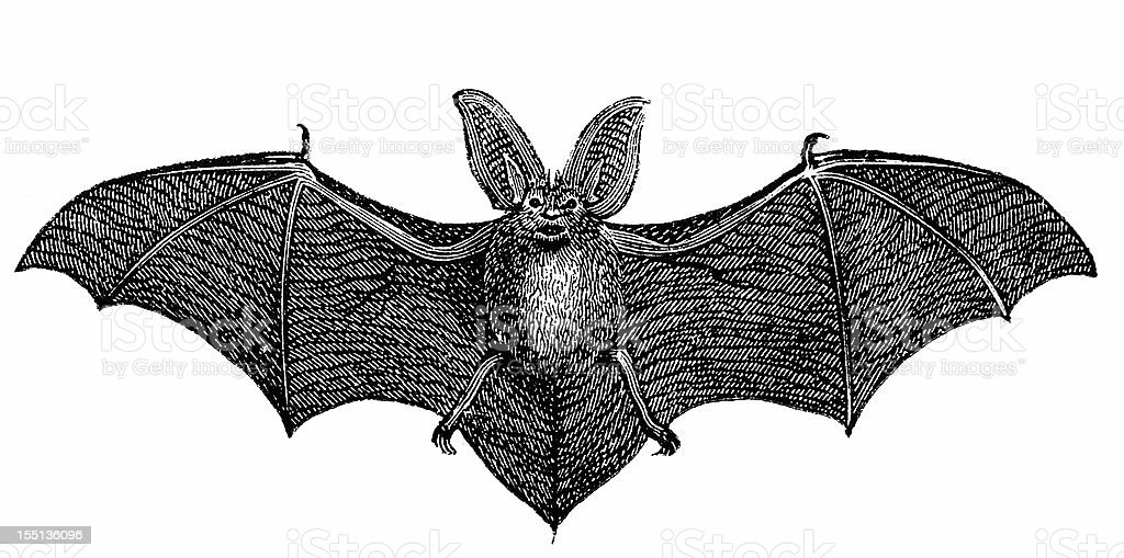 Common long-eared bat (Plecotus Auritus) vector art illustration