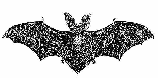 common long-eared bat (plecotus auritus) - bat stock illustrations, clip art, cartoons, & icons