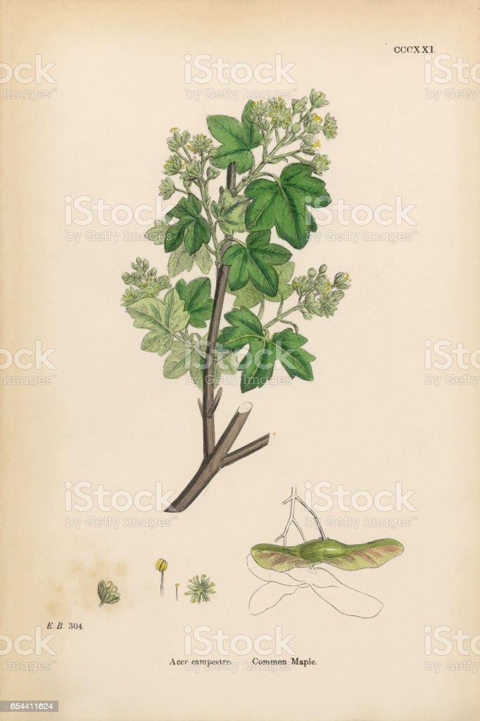 Common Maple, Acer campestre, Victorian Botanical Illustration, 1863 vector art illustration