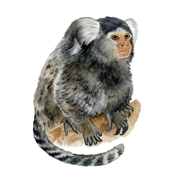 Common Marmoset, Callithrix jacchus or Cotton Eared Marmoset isolated on white background. Hand drawn cute pet. Greeting card, encyclopedia design. Clip art for web, print. Watercolor closeup portrait Common Marmoset, Callithrix jacchus or Cotton Eared Marmoset isolated on white background. Hand drawn cute pet. Greeting card, encyclopedia design. Clip art for web, print. Watercolor closeup portrait common marmoset stock illustrations