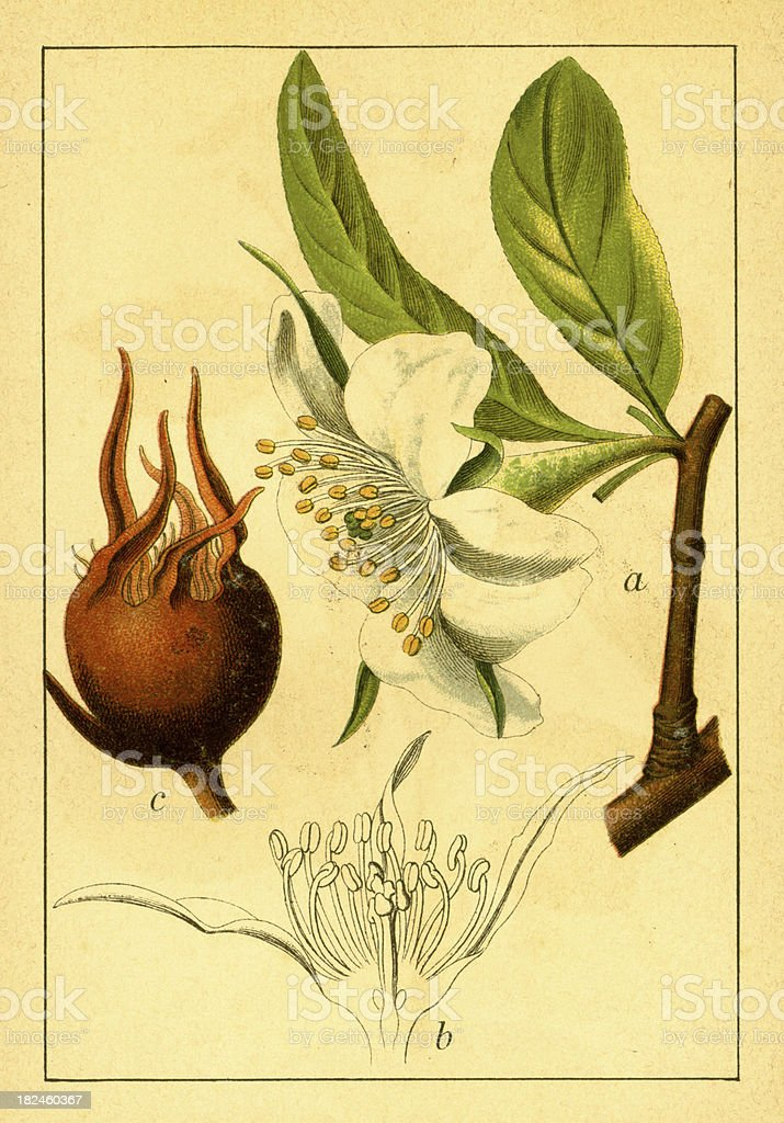Common medlar | Antique Flower Illustrations royalty-free common medlar antique flower illustrations stock vector art & more images of 19th century