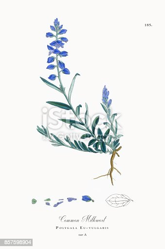 Very Rare, Beautifully Illustrated Antique Engraved and Hand Colored Victorian Botanical Illustration of Common Milkwort, Polygala Eu-vulgaris, 1863 Plants. Plate 185, Published in 1863. Source: Original edition from my own archives. Copyright has expired on this artwork. Digitally restored.