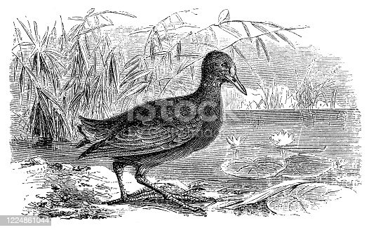 istock Common moorhen (Gallinula chloropus) 1224861044