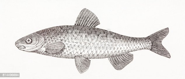 istock Common nase (Chondrostoma nasus) antique engraving 814496694