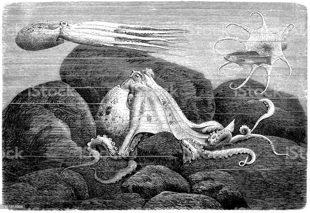 Common Octopus (Octopus Vulgaris) vector art illustration