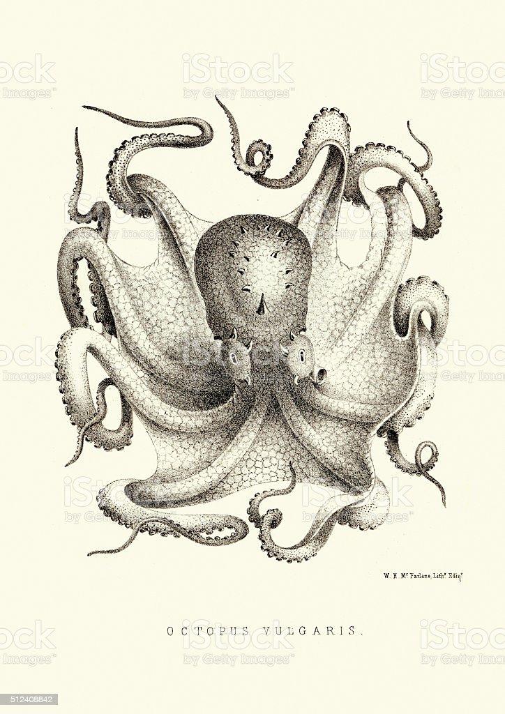 Common octopus - Octopus vulgaris vector art illustration