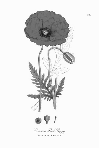 Common Red Poppy, Papaver Rhoeas, Victorian Botanical Illustration, 1863