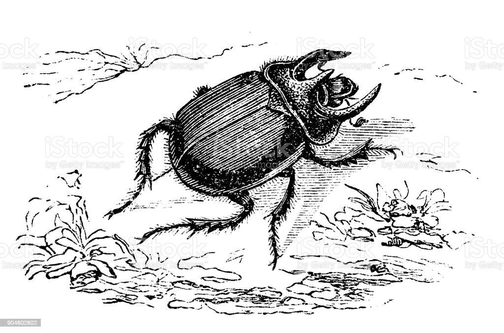 Gemeinsamen Typhoeus Oder Minotaurus Kafer Stock Vektor Art Und Mehr