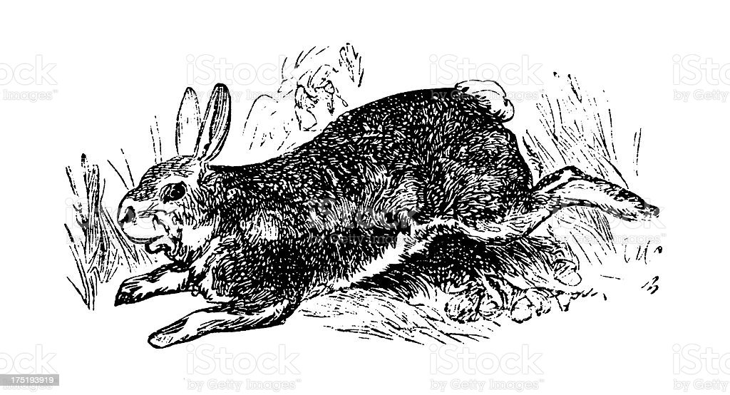 Common wild rabbit | Antique Sports Illustrations royalty-free stock vector art