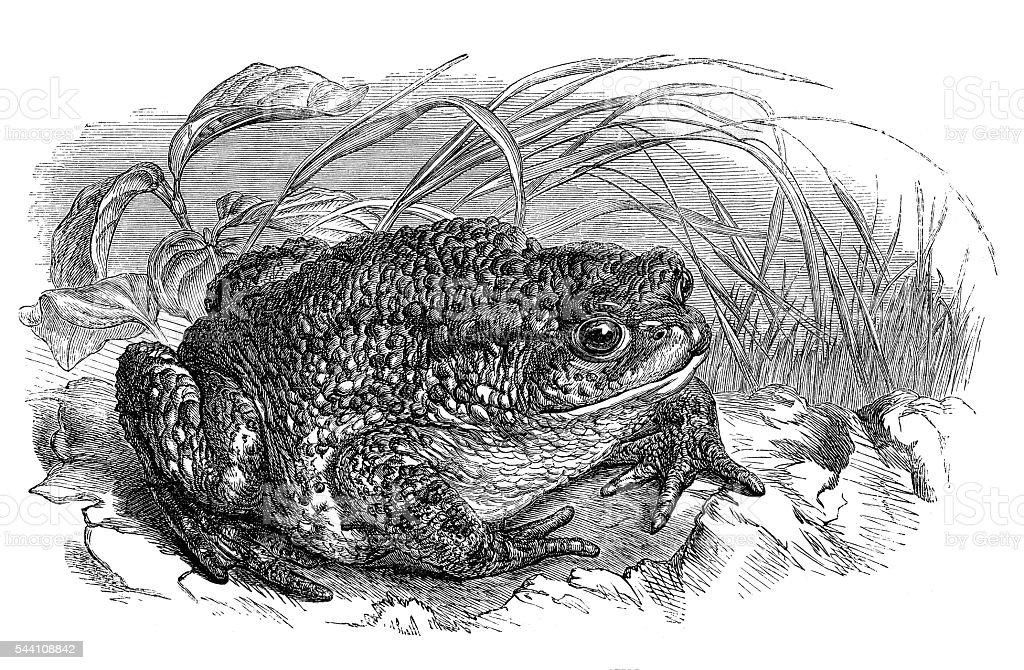 Commun toad Bufo engraving 1881 vektorkonstillustration