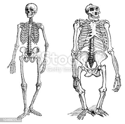 Illustration of a Comparison between human and gorilla skeleton