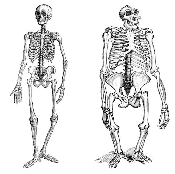 comparison between human and gorilla skeleton - animal skeleton stock illustrations