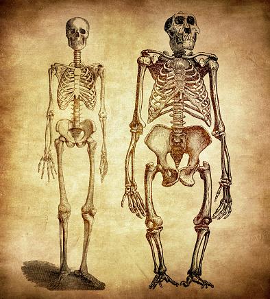 Comparison between human and gorilla skeleton