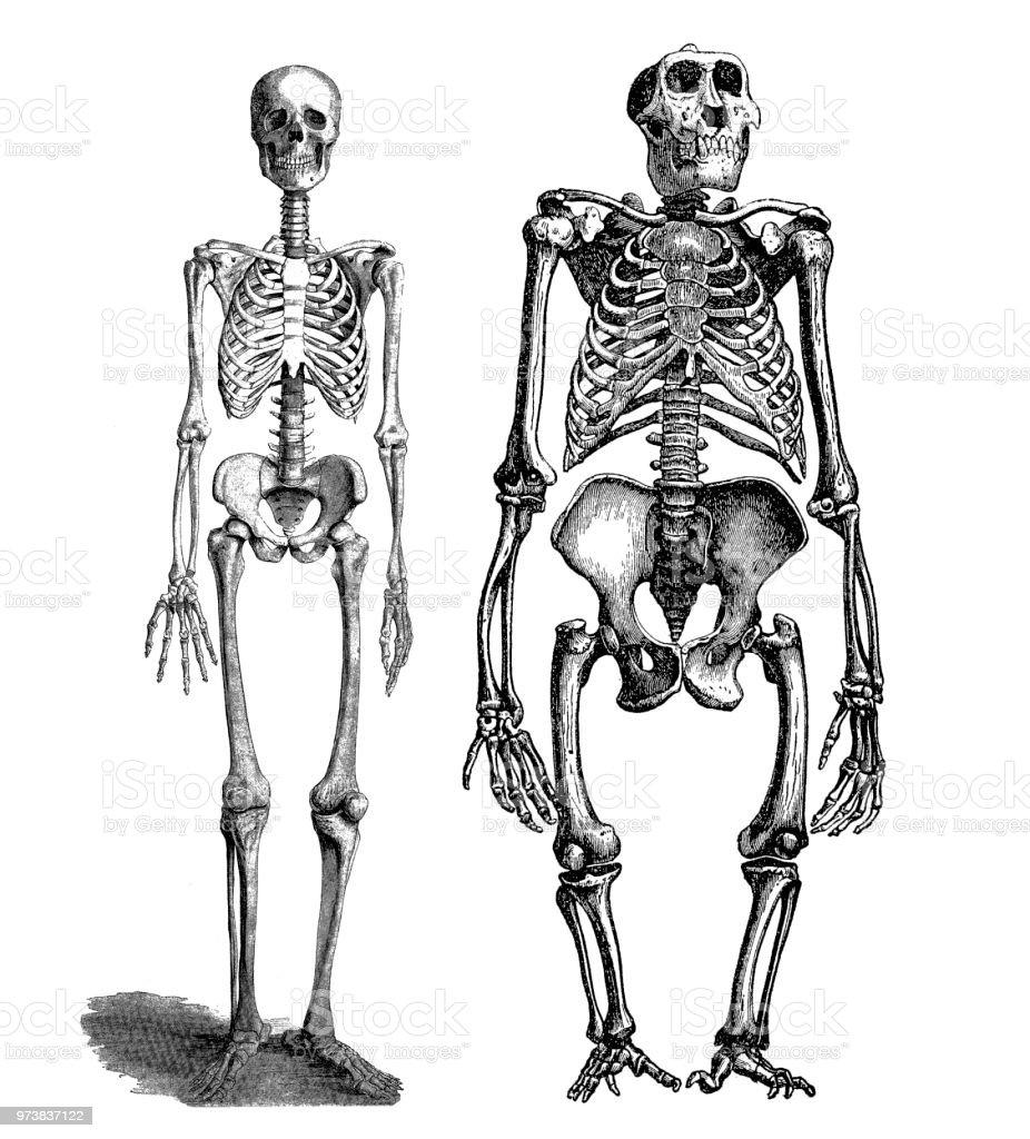 Comparison Between Human And Gorilla Skeleton Stock Vector Art ...
