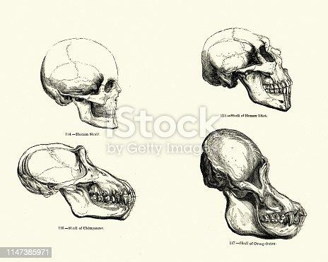 Vintage engraving of a Comparison of Skulls, Human, Chimpanzee, Orangutan 19th Century