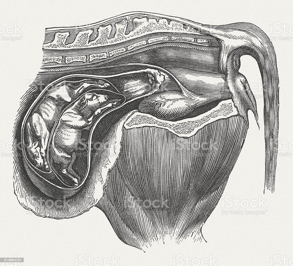 Complete mature fetus in the uterus of a cow, gemini vector art illustration