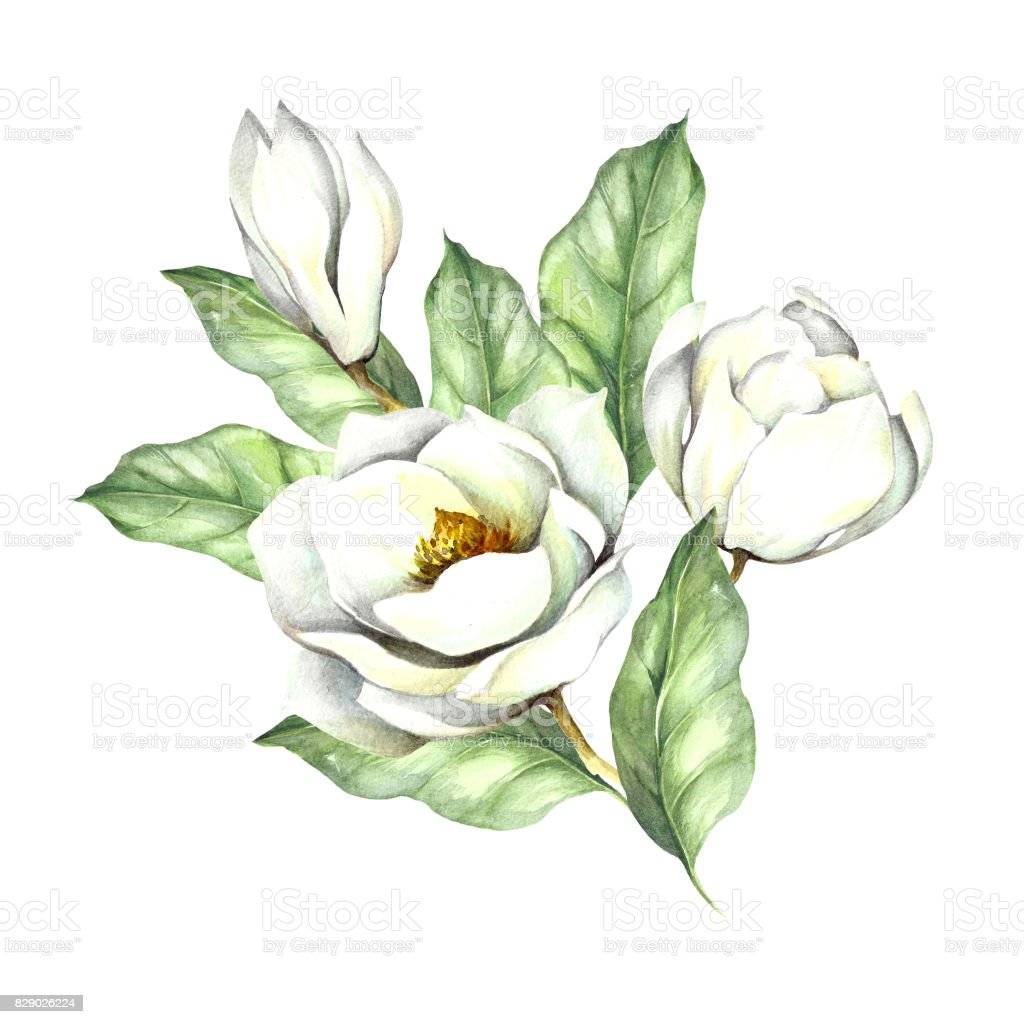 Composition with magnolia. Hand draw watercolor illustration vector art illustration