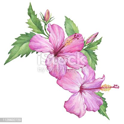 Composition with tropical pink flowers of Hibiscus (also known as rose of Althea or Sharon, rose mallow) Watercolor hand drawn painting illustration isolated on a white background.