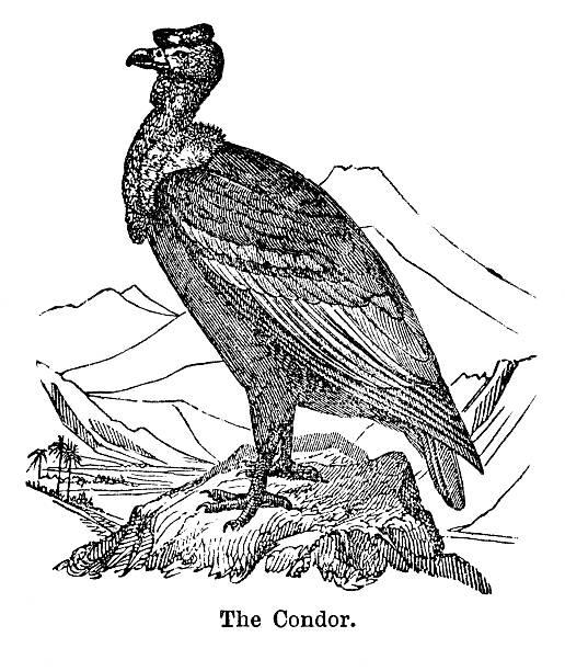 Top 60 Andean Condor Clip Art, Vector Graphics and ...