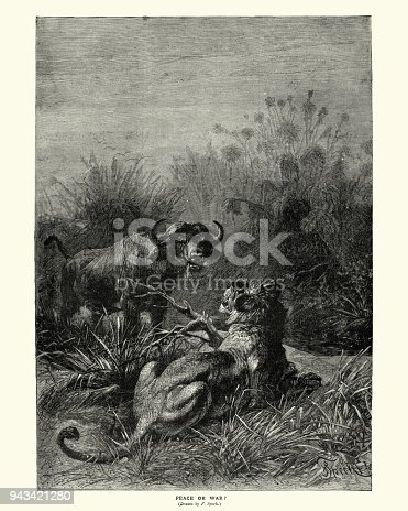 Vintage engraving of a Confrontation between a lion and buffalo19th Century