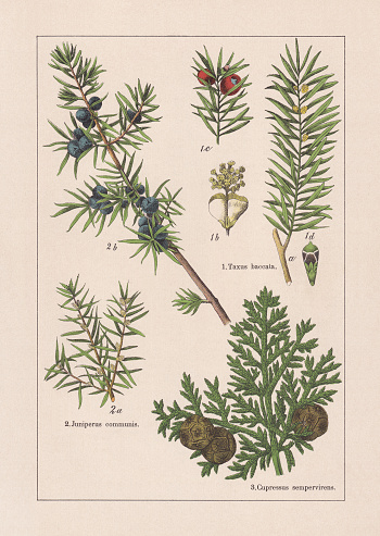 Coniferes: 1) European yew (Taxus baccata), a-flowering male branch, b-male blossom, c-female seed-bearing twig tip, d-female blossom (enlarged), 2) Juniper (Juniperus communis), a-twig with male blossoms, b-twig with foliage and berry-shaped cones; 3) Mediterranean cypress (Cupressus sempervirens), foliage and cones. Chromolithograph, published in 1895.