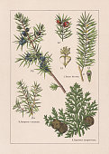 istock Coniferes, chromolithograph, published in 1895 1268653273