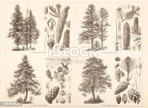 Different conifer trees and seed Pine ( Pinus sylvestris ) - Fir ( genus Abies ) - Larch ( genus Larix ) - Spruce ( genus Picea ) Original edition from my own archives Source : Brockhaus Conversationslexikon 1886