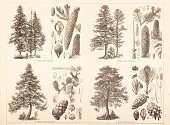 Coniferous trees Pine Fir Larch and Spruce illustration