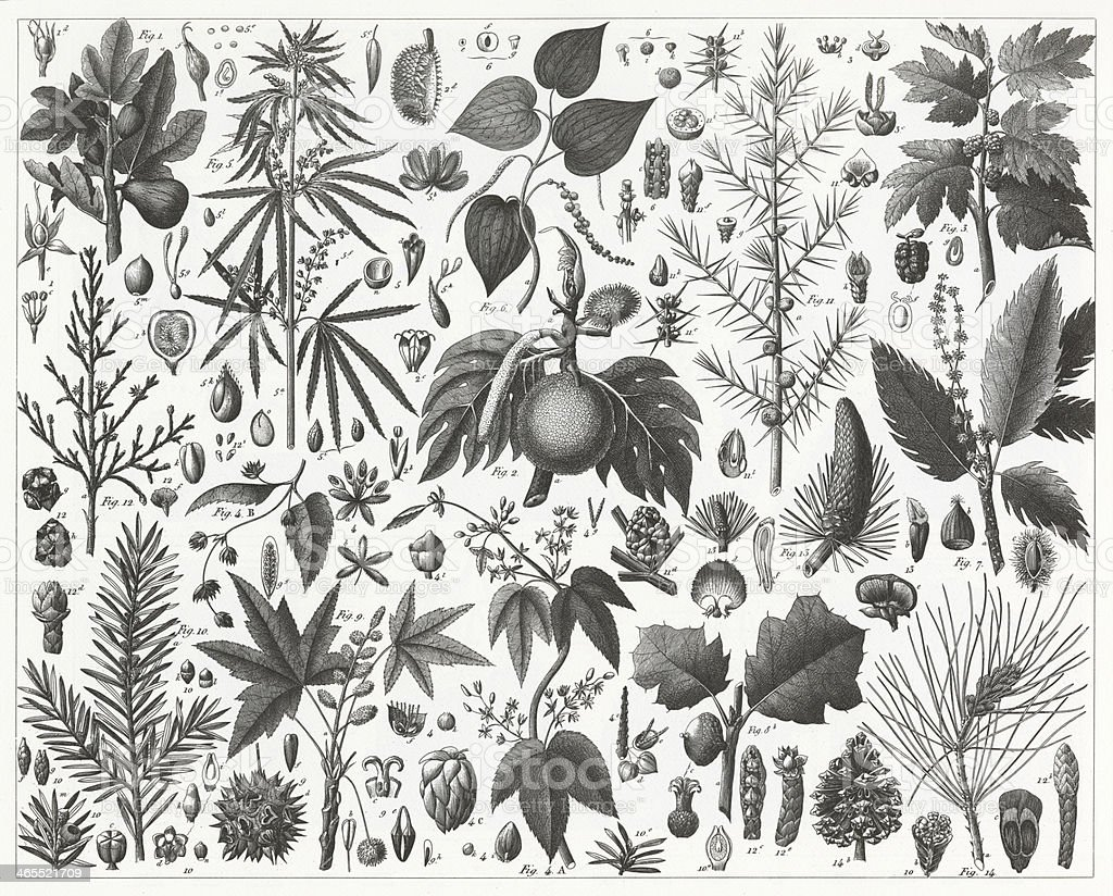 Conifers, Mulberry and Beech Families Engraving royalty-free conifers mulberry and beech families engraving stock vector art & more images of 19th century