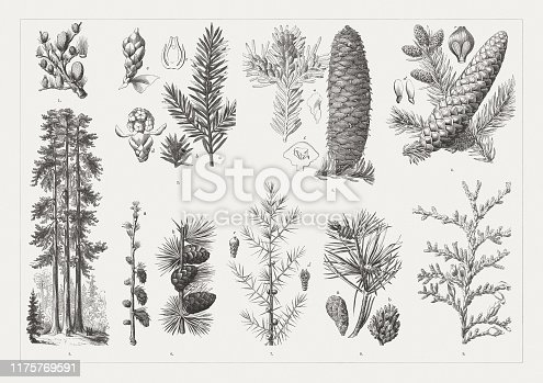 Conifers: 1) Lebanon cedar (Cedrus libani) twig with cones; 2) Yew, a-Twig with male blossoms, b-twig with fruits, c-ovule (cross section), d-male blossoms, e-ovule; 3) European silver fir (Abies alba), male blossoms and cones, a-seed, b-seed scale; 4) European spruce (Picea abies), Cones and male blossoms, c-ovules on a scale, d-winged seeds; 5) Californian redwoods (Sequoiadendron giganteum,