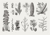Conifers: 1) Lebanon cedar (Cedrus libani) twig with cones; 2) Yew, a-Twig with male blossoms, b-twig with fruits, c-ovule (cross section), d-male blossoms, e-ovule; 3) European silver fir (Abies alba), male blossoms and cones, a-seed, b-seed scale; 4) European spruce (Picea abies), Cones and male blossoms, c-ovules on a scale, d-winged seeds; 5) Californian redwoods (Sequoiadendron giganteum, \