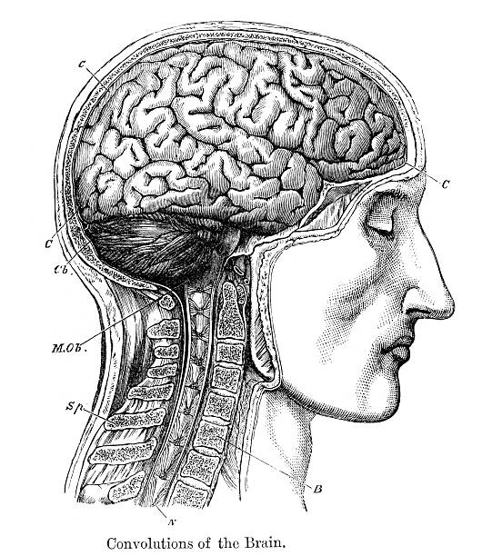 Convolutions of the Human Brain Vintage engraving from 1883 of a cross section of a human head showing the brain medical illustrations stock illustrations