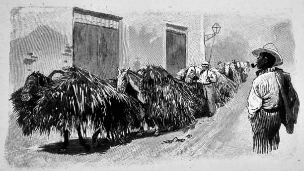 illustrazioni stock, clip art, cartoni animati e icone di tendenza di convoy of sugar cane - 1896 - illustrazioni di canna da zucchero