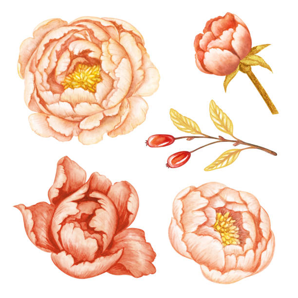 Best Peach Roses Illustrations, Royalty-Free Vector ...