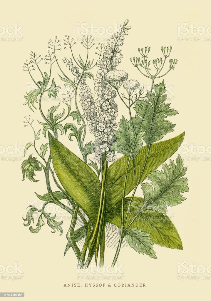 Coriander and Anise illustration 1851 vector art illustration