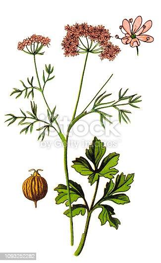 Illustration of a Coriander ,cilantro ,Chinese parsley (coriandrum sativum)