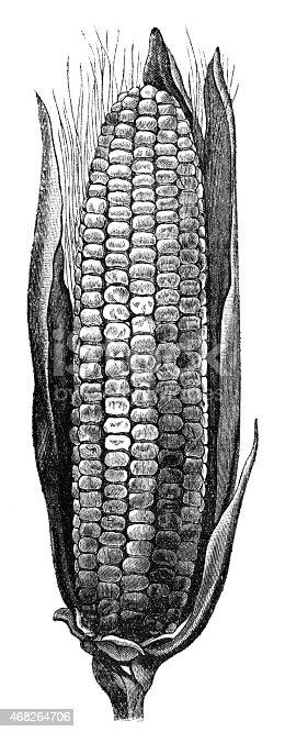 Engraved illustration of corn