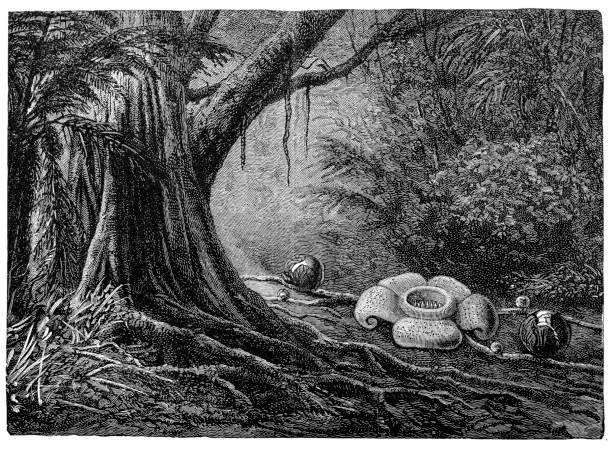 Fleur cadavre (Rafflesia Poitras) - Illustration vectorielle