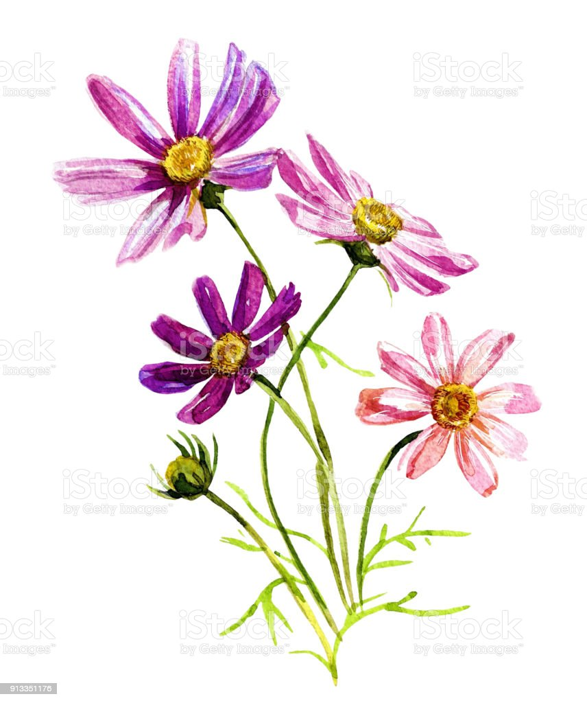 Cosmos Flowers In Watercolor Isolated On White Background Stock
