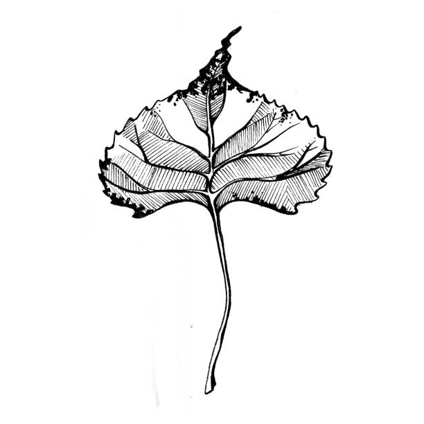 Cottonwood Leaf A single cotton wood leaf, drawn in black ink, on a white background. cottonwood tree stock illustrations