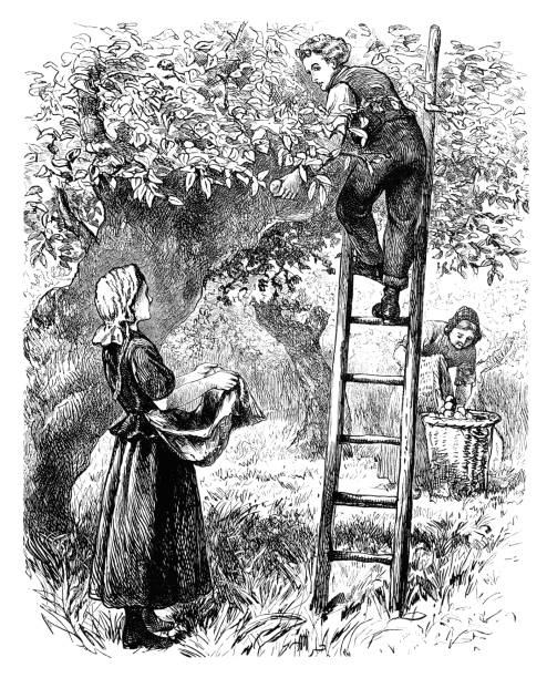 """Country folk picking pears (Victorian engraving) Three country folk picking apples or pears from a tree in an orchard. The man is up a ladder, handing the picked fruit to a woman who is putting them into her apron. An older woman is transferring them to a large basket. From """"A Gift For a Pet"""" by Annie R. Butler. Published in London by The Religious Tract Society, 1896. picking harvesting stock illustrations"""