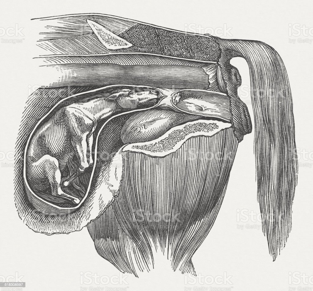 Cow fetus: abnormal position, back bent front legs, published 1883 vector art illustration